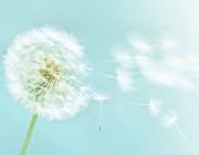 bigstock-dandelion-on-blue-sky-backgrou-16351226